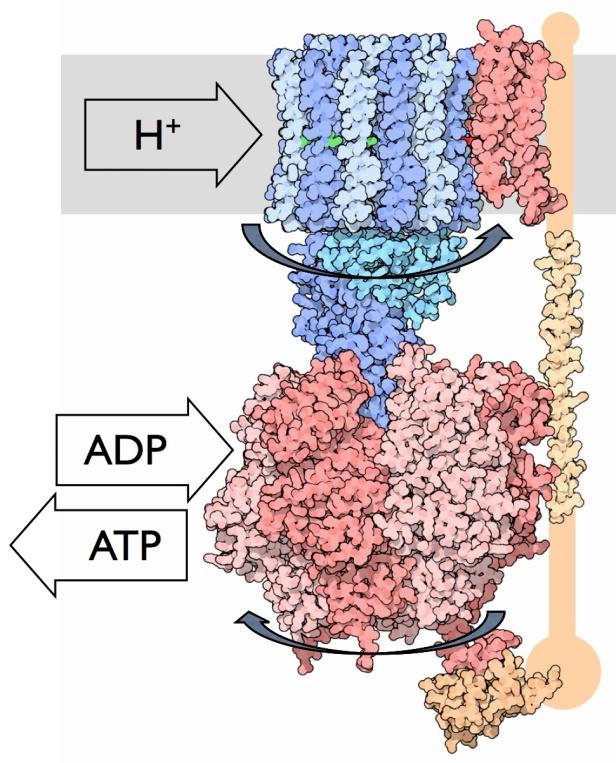 ATPsynthase