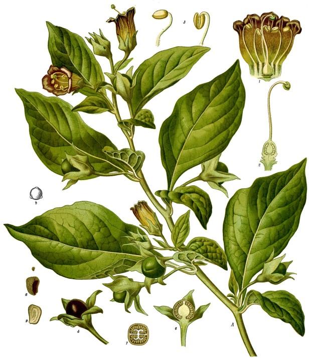 Atropa_belladonna_-_Köhler–s_Medizinal-Pflanzen-018.jpg