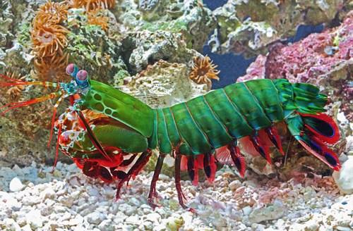 animals-mantisshrimp-slide2-web.jpg