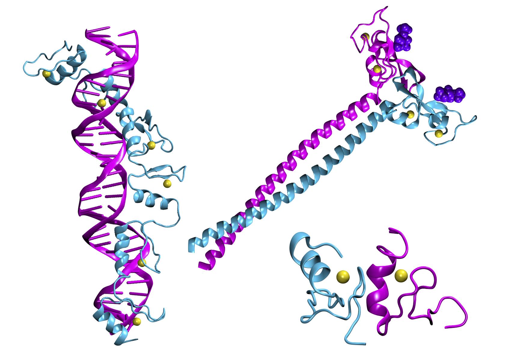 des assemblages macromoléculaires avec des motifs à doigts de zinc.